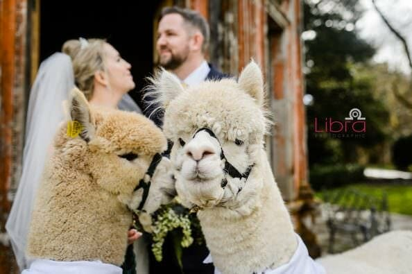 Alpaca ring bearer at Larmerrtree Garden wedding