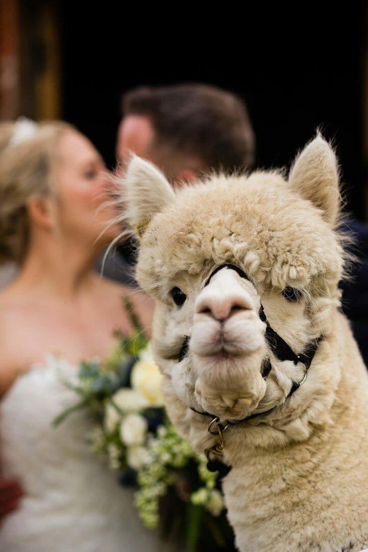 Alpaca photobombs the bride and groom